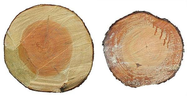 赤松原木截面