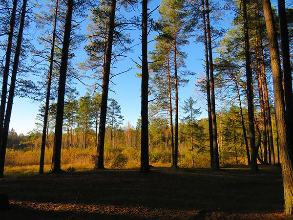 芬兰松树林